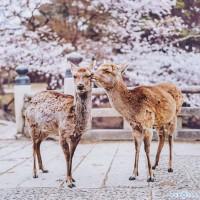 俄罗斯摄影师镜头下的日本樱花古都风光